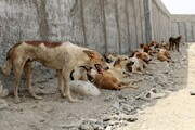 ۲۰۰  سگ ولگرد رایگان واگذار شدند
