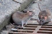 کانونهای طغیان جمعیت موش شناسایی شوند