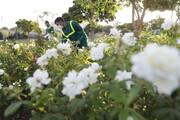 آغاز کاشت گلهای پاییزه در شرق تهران