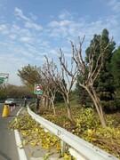 اجرای هرس پاییزی درخت و درختچه های منطقه ۱۵
