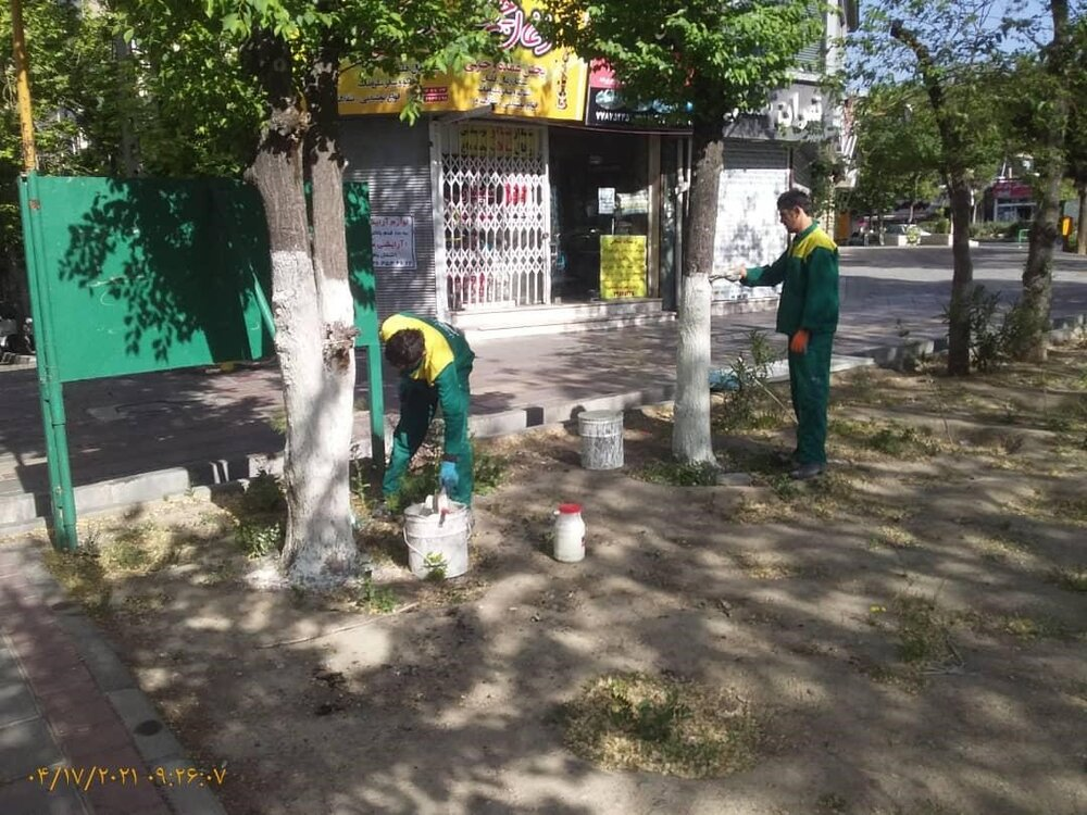 بیش از ۱۵۰۰ اصله درخت در منطقه ۴ در مقابل آفات و بیماریها محافظت شدند