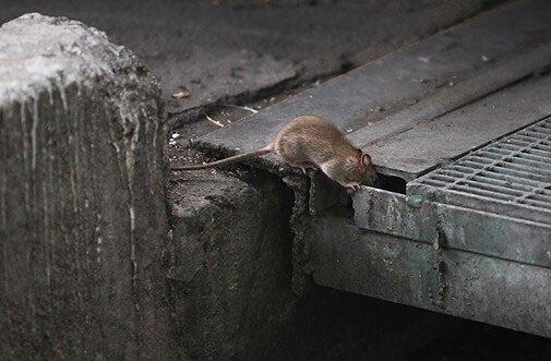 موش ها عامل گسترش بیماری و طاعون