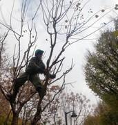 عملیات به زراعی و هرس پاییزه درختان